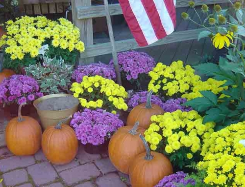 Care of Fall Mums