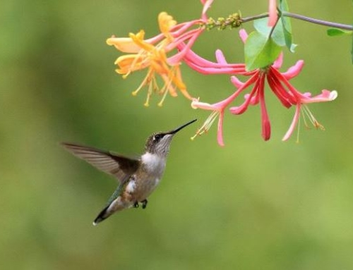 Create a Hummingbird Haven